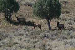 Elk-trees