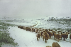 Sheepphoto-or